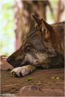 .:sleeping wolfy:. by WhiteSpiritWolf
