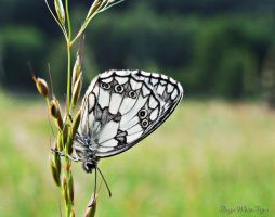 Black and White Butterfly by TiogaWhiteTiger