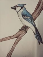 Blue jay by TheRottaKoira