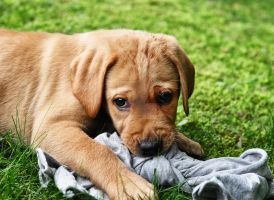 adorable yellow lab puppy by Mjag