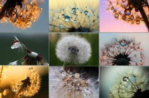 Dandelion with water droplets by MT-Photografien