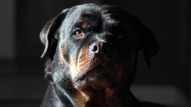 Classy Rottweiler Photo by 1BeneDict