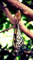 Butterfly with chrysalis by hannie001