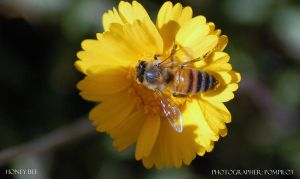 Honey Bee by pompilot