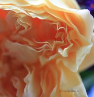 how lovely is the rose 2 by GeaAusten