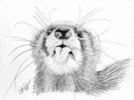 Ferret by CynthT