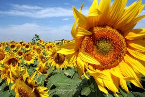 sunflowers by Kristinaphoto