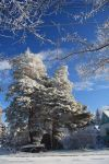 Big Frosty Pine by Seath