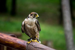 Lanner Falcon 04 by blackkurai