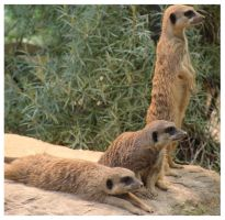 Meerkats by dreaming-sarana