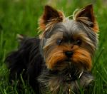 Yorkshire terrier yorkie yorky by houstonryan