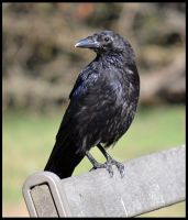 Crow1 by FrankAndCarySTOCK