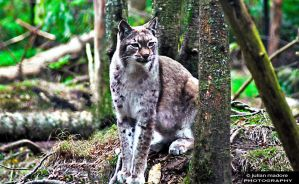 Canadian Lynx by 20smoke20