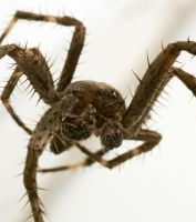 Wolf Spider 2 by BlackHive
