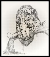 Clouded Leopard by IzaPug