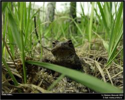 Toads again by firework