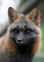 Portrait of a Cross Fox by Jack-13