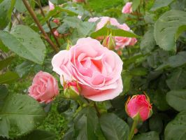 roses after rain by Lexx-Us
