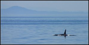 Orca Seascape by nitsch