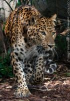 Chinese Panther _ stock img by sekhmet-stock