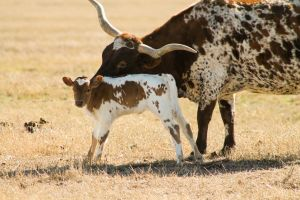 Longhorn Calf and its Mother by Broadwinger