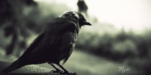 Raven by Light1108