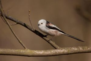 Long-tailed Tit by CyprianMielczarek