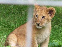 Lion Stock 7: Cub by HOTNStock