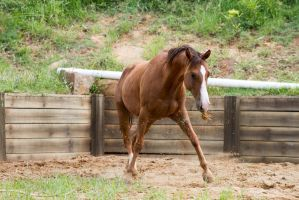 Km QH trot sideways grass in mouth by Chunga-Stock