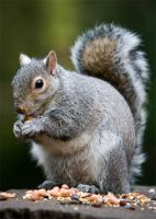 Squirrel by prtphotography