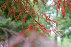 Lacy Leaves by LisaMacNewton