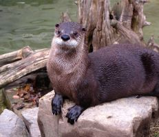 River Otter 426 by caybeach