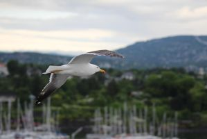 Seagull in Oslofjord by boundfighter