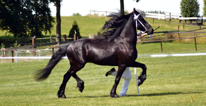 Friesian 4 by JullelinPhotography