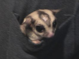pocket sugar glider by dranger1108