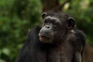 chimp43 by redbeard31