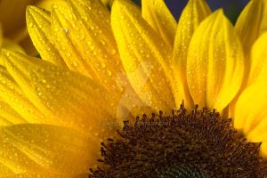 wet sunflower by camabs