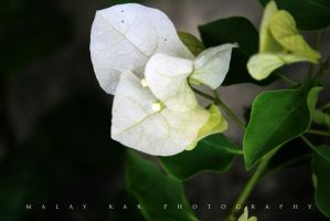 white flower III by malaydesigns