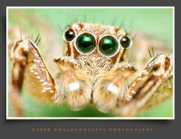 jumping spider 11 by dhead