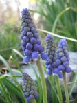 Grape Hyacinths in Spring by MusesTouch
