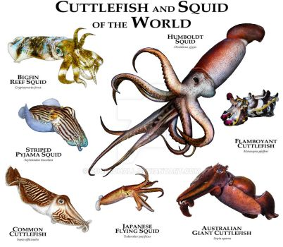 Cuttlefish and Squid of the World by rogerdhall