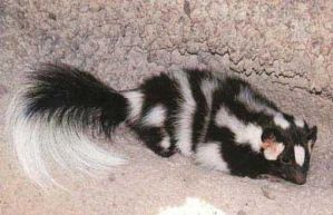A Spotted Skunk, life is good. by Spotty-Chan