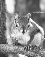 Squirrel by AgilePhotography