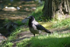 Hooded Crow by Ylwa