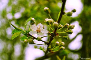 first blossom by Iulian-dA-gallery