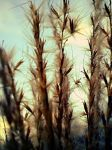 dry grass by Nicollaos