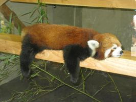 Sleepy red panda by Rennon-the-Shaved