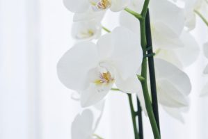 White flowers - 2 by creatief2