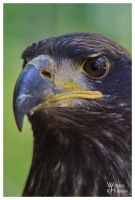 Juvenile Bald Eagle IV by W0LLE