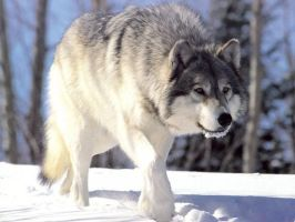 gray wolf by picmaster360